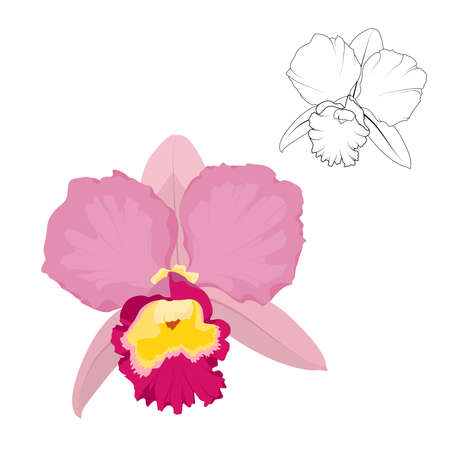 Pink cattleya orchid flower isolated on white background, Vector illustration. Ilustracja