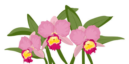 Orchid cattleya bloom blossom bouquet. Exotic tropical pink yellow flowers isolated on white background. Floral vector design illustration. Botanical greenery composition. Ilustração