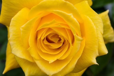 Closeup of a beautiful yellow rose, shot in a garden in Southern California. Would be lovely for a Valentine`s Day, anniversary, Easter, or Mother`s Day illustration or background.