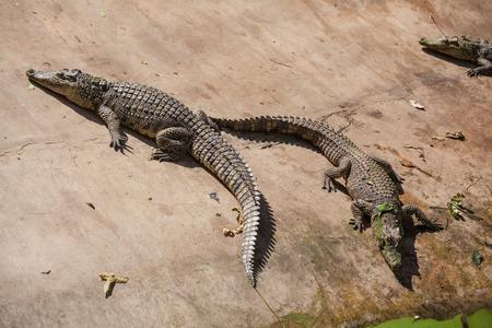 alligators: Alligators in the zoo, Thailand