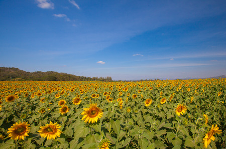 Landscape of Sunflower field at noon Stock Photo