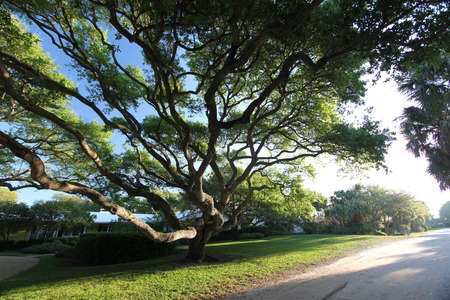 Grotesque tree in Vero Beach Florida photo