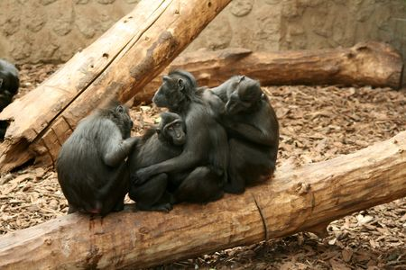 preens: Sulawesi  Celebes Crested Black Macaque