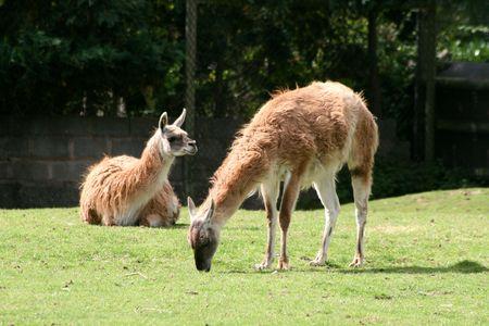 Guanaco Llama (Lama Guanicoe) Stock Photo - 4208382