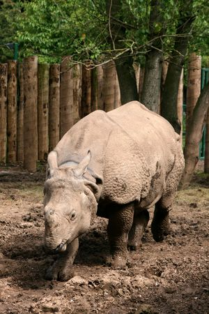 wallowing: Asian Great One-horned Rhinoceros