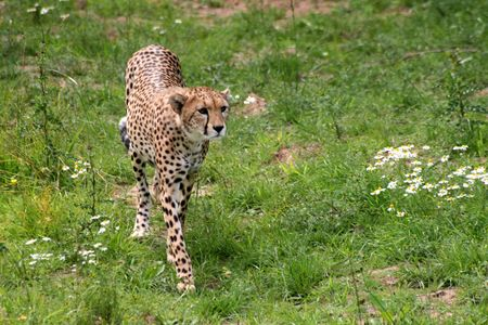 Cheetah Stalking Alert in Grass