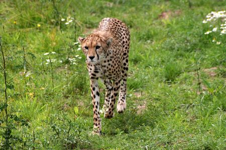 Cheetah Stalking Alert in Grass