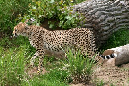 Cheetah Stalking Alert in Grass Stock Photo - 4208388