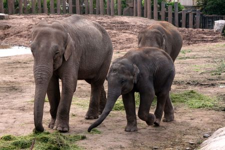 Asian, Asiatic, Indian Elephant with Calf  Baby (Elephas Maximus) Stock Photo