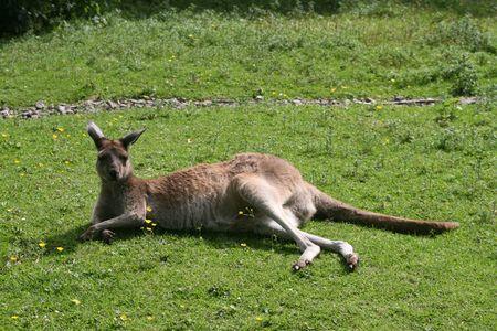 Kangaroo (Macropus Fuliginosis)
