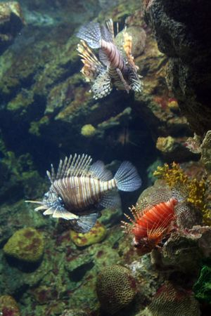 Marine Lion Fish - Tropical Coral Reef photo