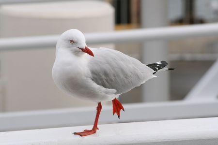Seagull (Silver Gull) Stock Photo