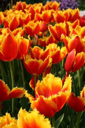 Tulip �Davenport� (Liliaceae Tulipa �Davenport�)