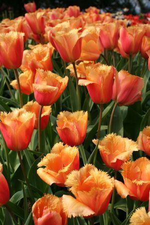 Tulip �Lambada� (Liliaceae Tulipa �Lambada�)