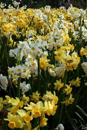 Easter Daffodils Stock Photo