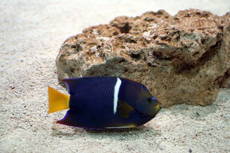King Angelfish (Holacanthus passer)