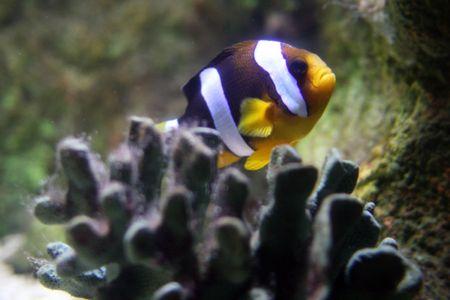 Clarkes Anemonefish (Amphiprion clarkii)