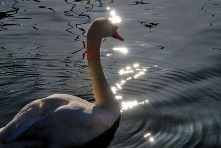leman: Swan taking in the sun on Lake Geneva (Lac Leman) in Geneva, Switzerland.