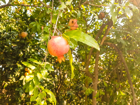 red little delicious pomegranate on tree with sun ray