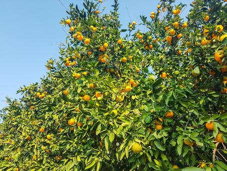 orange little delicious mandarin on tree