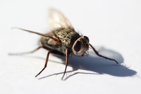chitin: Fly sitting on a white background