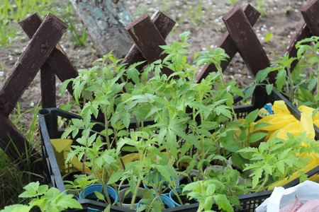 transplants: nursery transplants of tomatoes brought for landing in soil