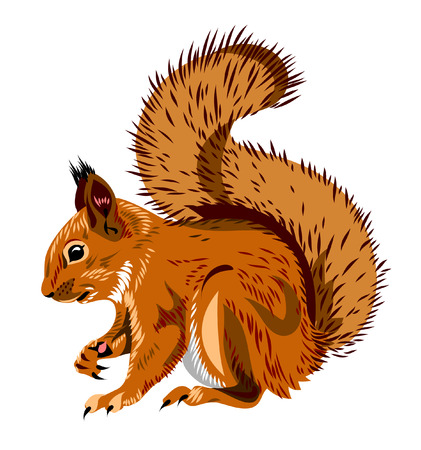 red squirrel: squirrel Illustration