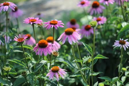 Pink flowers of Echinacea
