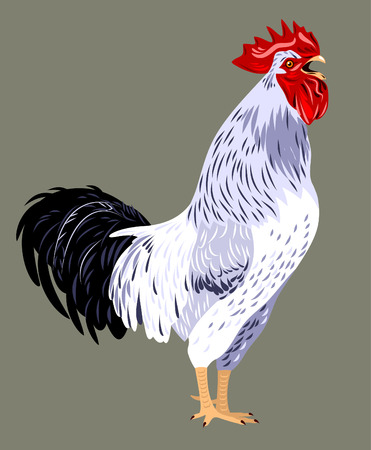 rooster at dawn: shouting singing cock Illustration