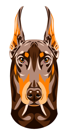 pinscher: Portrait of a brown Doberman pinscher