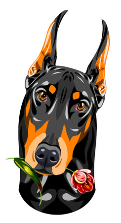 pinscher: Portrait of a black doberman pinscher with a rose in his teeth Illustration