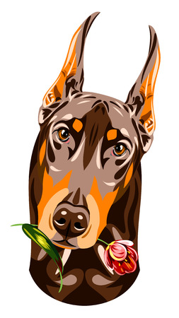 pinscher: Portrait of a brown Doberman pinscher with a rose in his teeth Illustration
