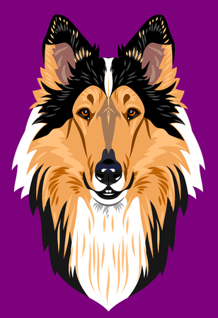 collie: Portrait of a collie dog