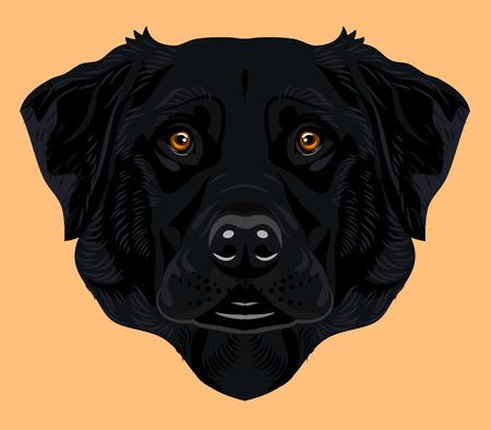 labrador: Portrait of a labrador dog breed