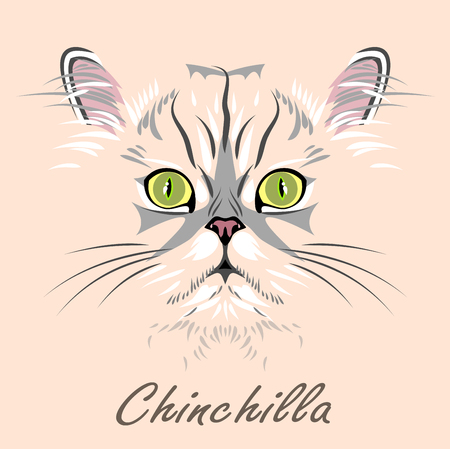 Portrait of Persian cat chinchilla