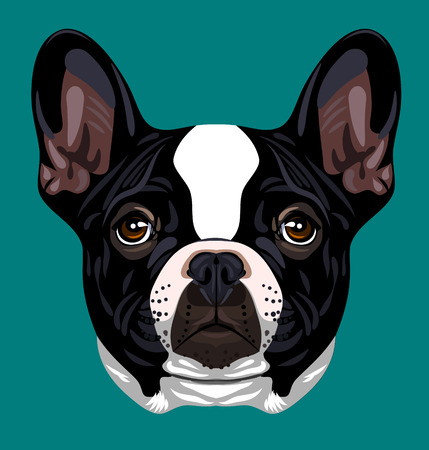 pug nose: Portrait of a French Bulldog