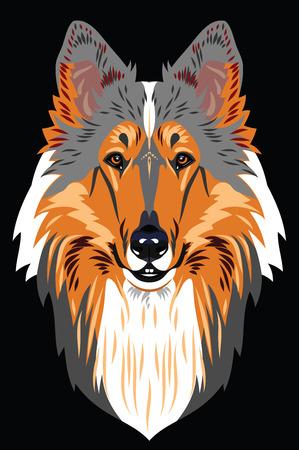 collie: Collie dog portrait