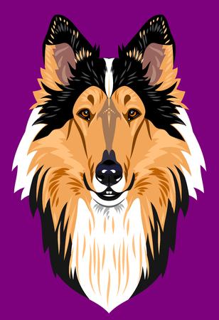 scottish collie: Collie dog portrait