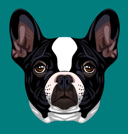 boston bull terrier: Portrait of French Bulldog Stock Photo