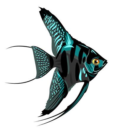 ichthyology: Beautiful and colorful aquarium fish angelfish Illustration