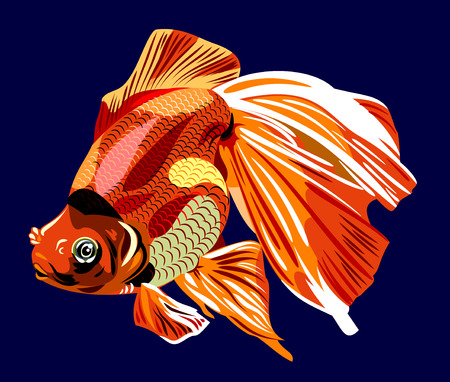 Aquarium goldfish Oranda vector illustration