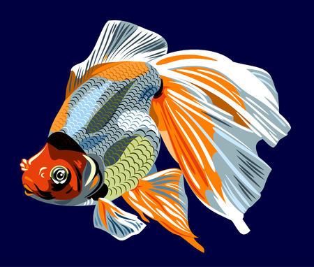 calico: Aquarium goldfish Oranda vector illustration