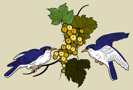 Bunch of grapes hanging on the vine and who arrived blackbirds. Vintage Engraving. Illustration