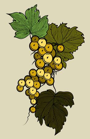 Bunch of grapes hanging on the vine. Vintage Engraving. Illustration