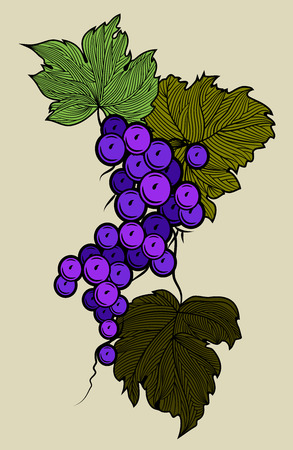 Bunch of grapes hanging on the vine. Vintage Engraving. Stock Photo
