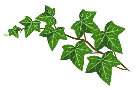 A sprout of green ivy vector illustration