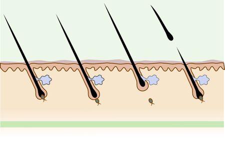 human skin structure