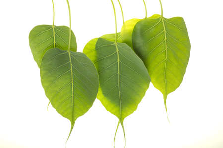 Peepal Leaf also known as Bodhi leaf, grows on a treaa primarily in indian region photo