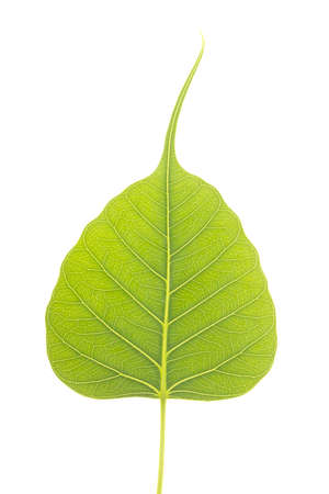 Peepal Leaf also known as Bodhi leaf, grows on a treaa primarily in indian region Stock Photo - 14797431