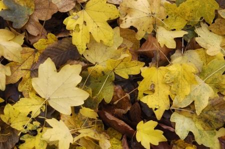 Gelben Blätter im Herbst Standard-Bild